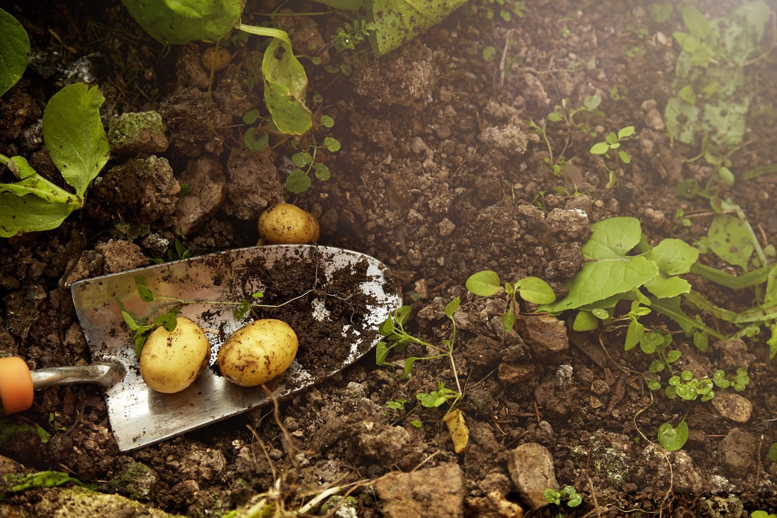 How To Grow Potatoes! Garden Bible