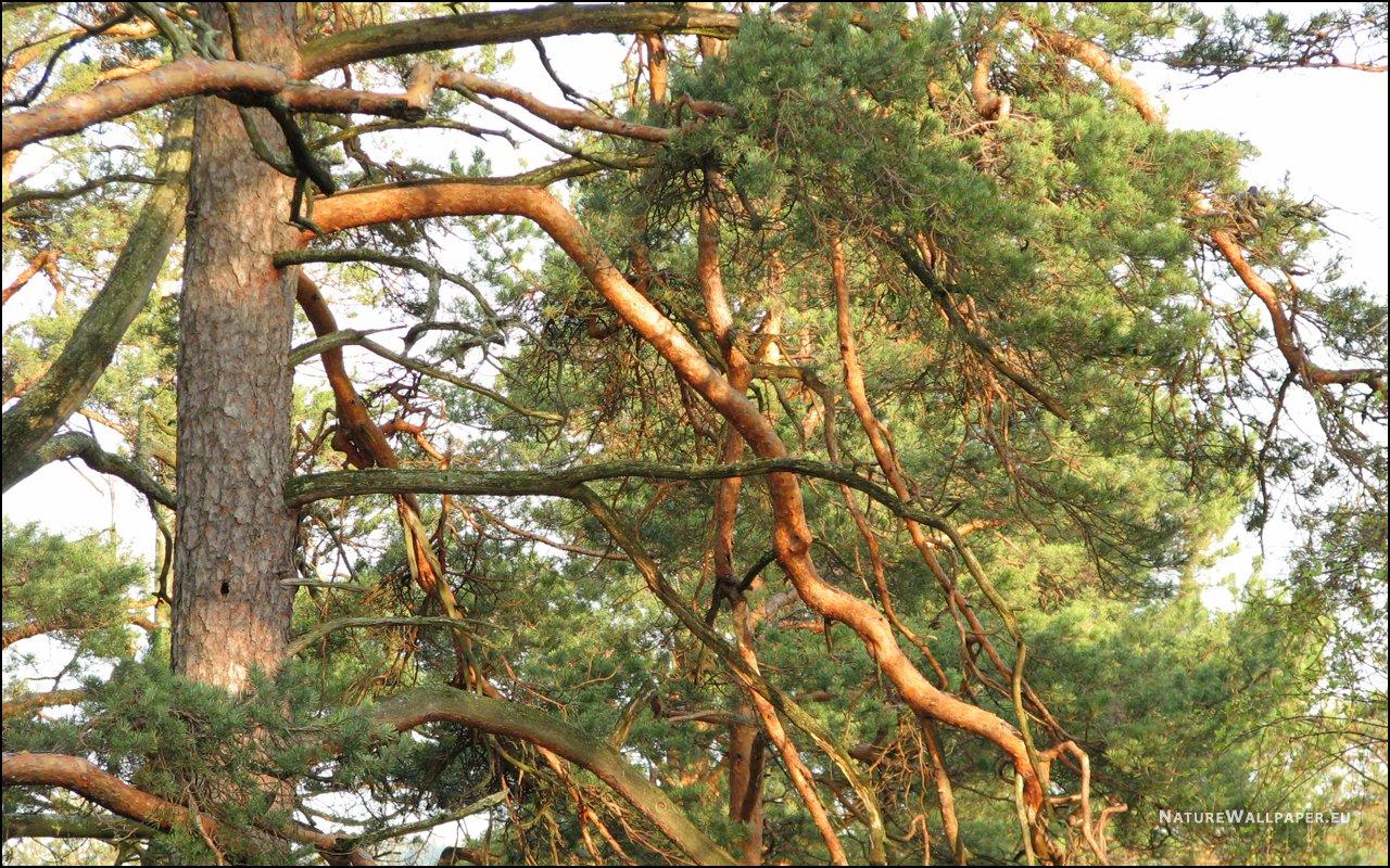 сухие ветки сосен на фотографии нас представлены качественные