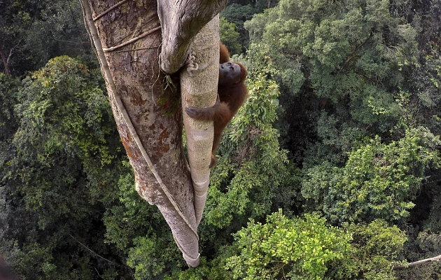 Foto Orang Utan ini menang dalam World Press Photo Contest