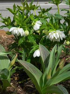 Harvington Double White hellebore Helleborus x hybridus by garden muses-not another Toronto gardening blog