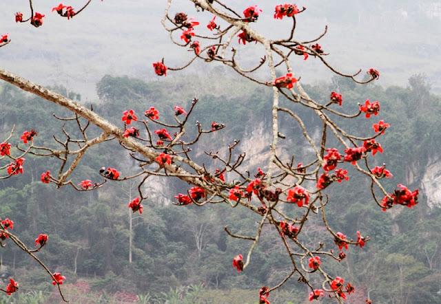 Red silk cotton trees in full bloom in Northwest Vietnam 2