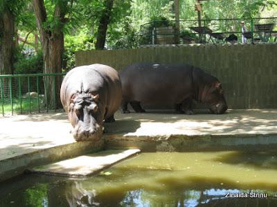 zoo-barcelona-hipopotami