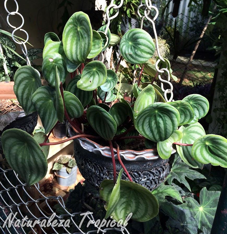 Otra imagen del Meloncito de Jardín, Peperomia argyreia o Peperomia sandersii