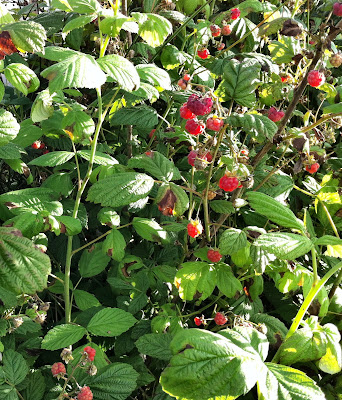 An image of wild raspberry canes in Scotland.