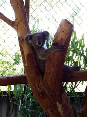 Koala at Symbio Wildlife Park Sydney