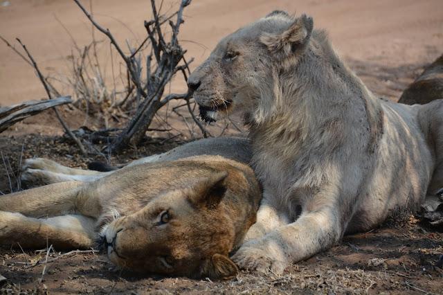 Singita Sweni Africa hotel resort Kruger National Park lion lioness pride