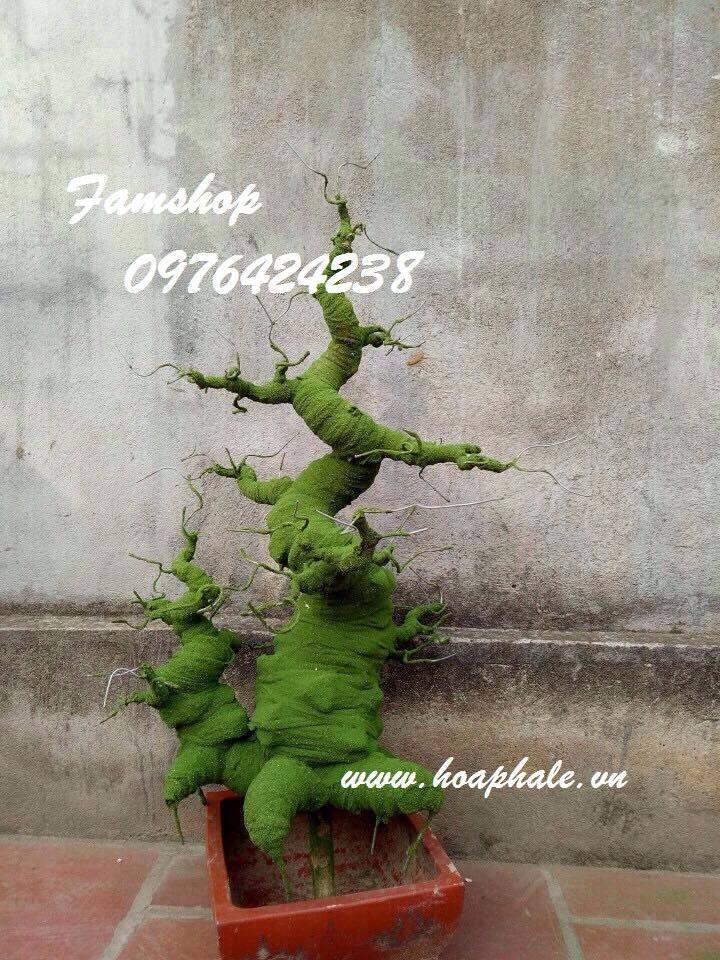 Goc bonsai mai dao o Dinh Liet
