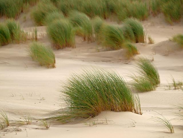 Vordünen am Strand von Langeoog