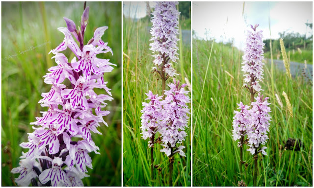 spotted orchid flower