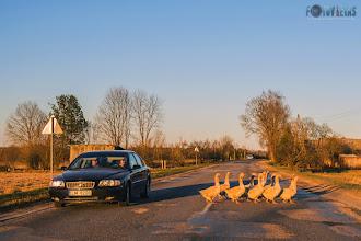 """Fotosērija """"Neparastā Latvija"""". Zosu parāde"""
