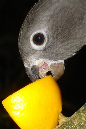 What Do Parrots Eat? - What Do Parrots Drink? – All about Parrot's Food Habits