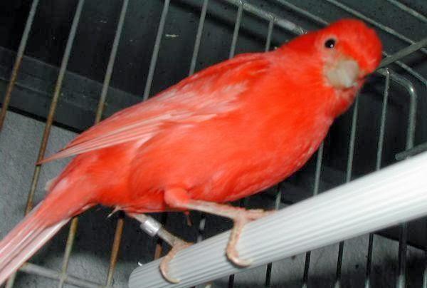 Untuk melatih burung kenari jantan anakan semoga cepat berbunyi haruslah dilakukan  Koleksi Audio mp3 Pelatihan Kenari