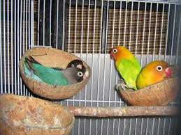 Cara Lengkap Budidaya Burung Lovebird