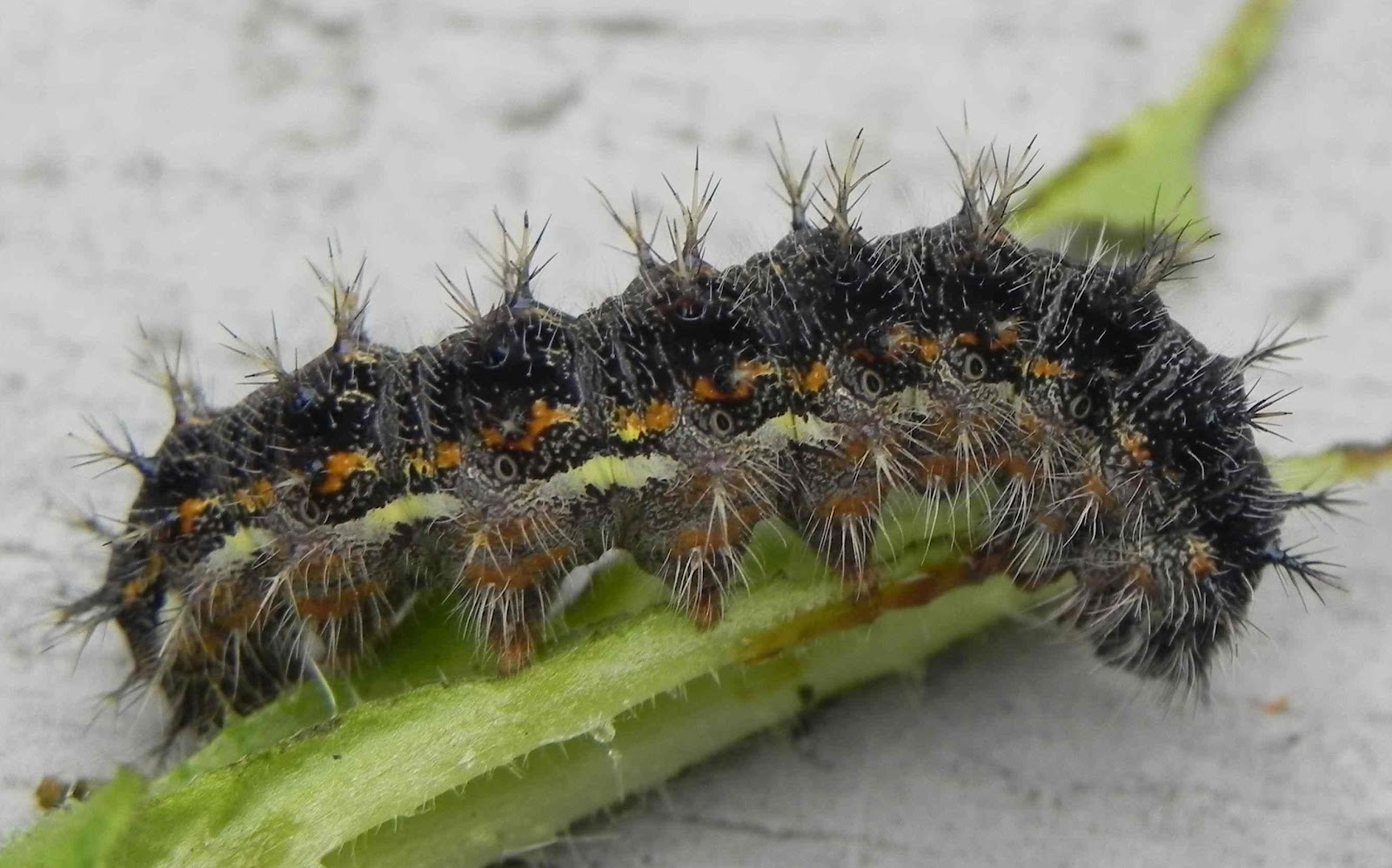 painted lady butterfly caterpillar - photo #6