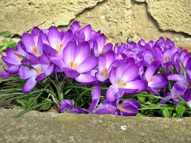 krokusy, ściana, kwiaty, wiosenne