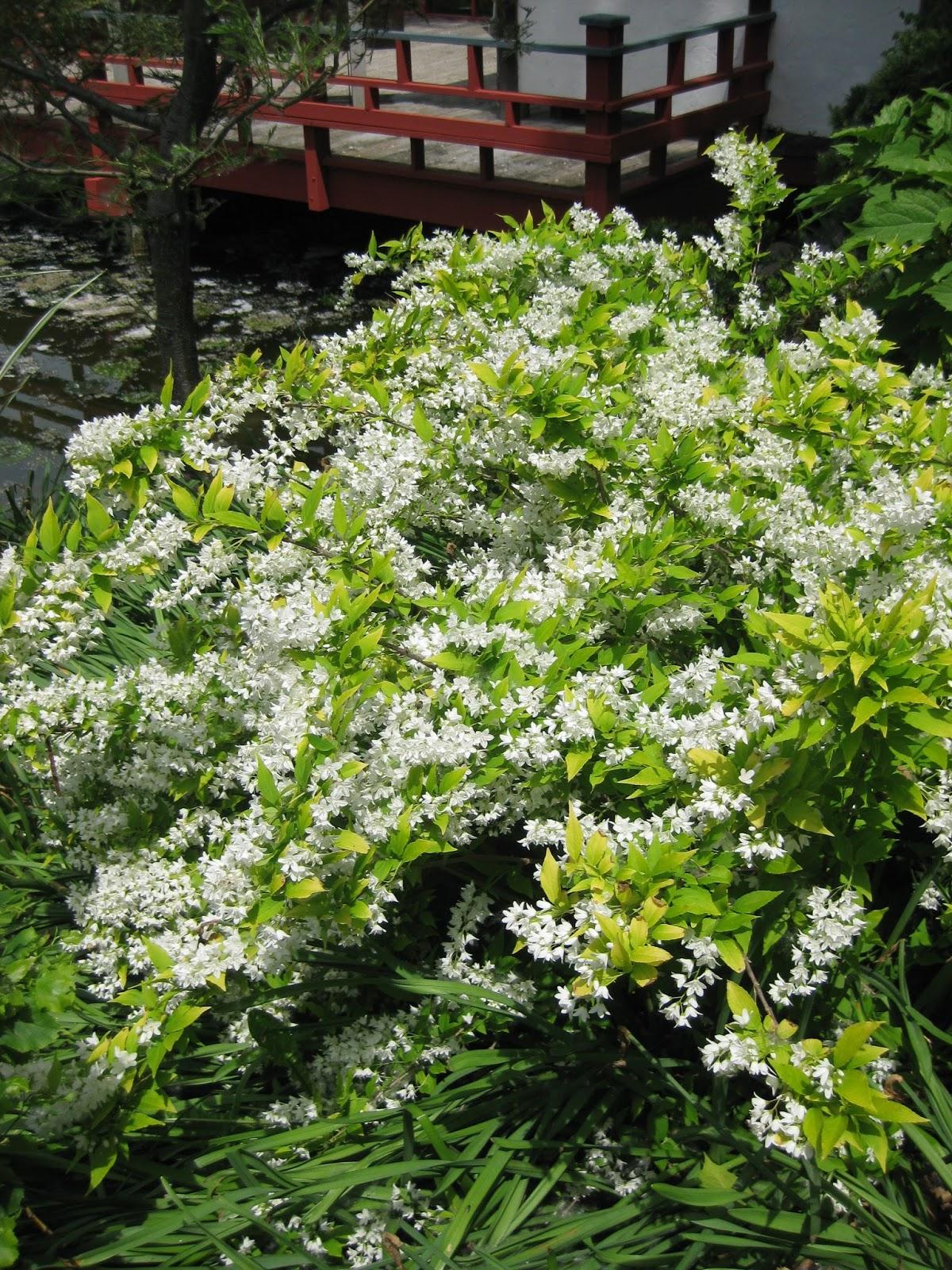 Deutzia Chardonnay Pearls Rotary Botanical Gardens