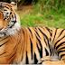 भारत का राष्ट्रिय पशु बाघ National Animal Tiger – Short Essay On Tiger
