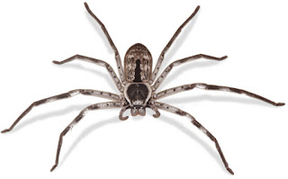 Photo of the Huntsman Spider