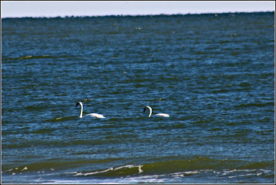 Swans on the ocean