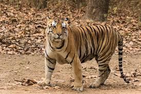 kanha national park tigher, kanha national park madhyapradseh