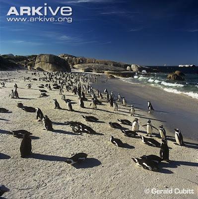 African Penguin habitat