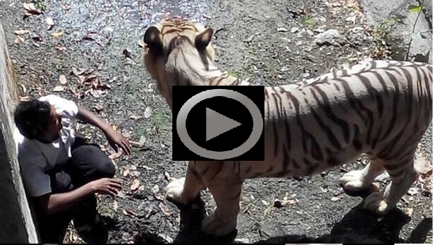 Full video of delhi zoo tiger kills mentally unstable man