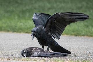 μαύρο κοράκι σεξ