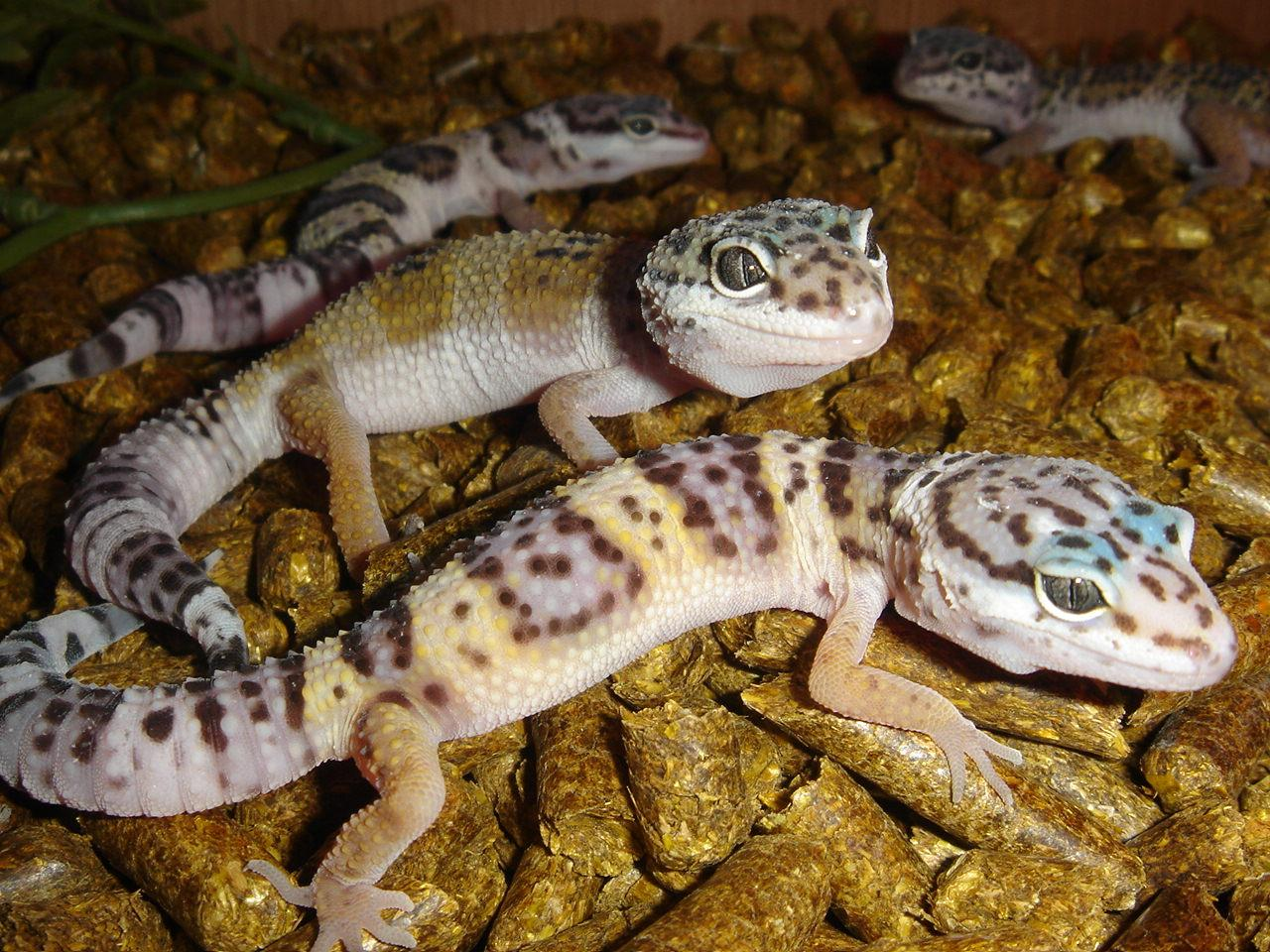 Can Leopard Geckos Eat Baby Food