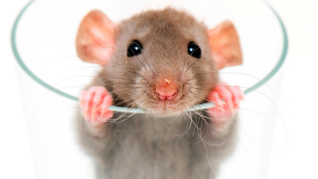 Rat Facts In Hindi