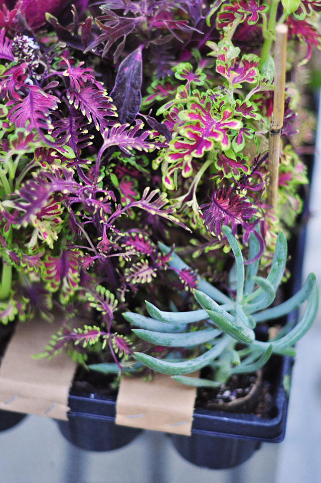 hort couture plants and flowers, coleus, gerber daisies