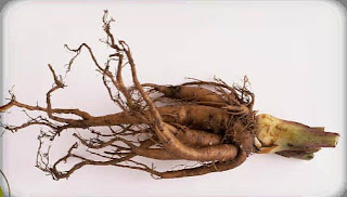 Image result for rhubarb root images