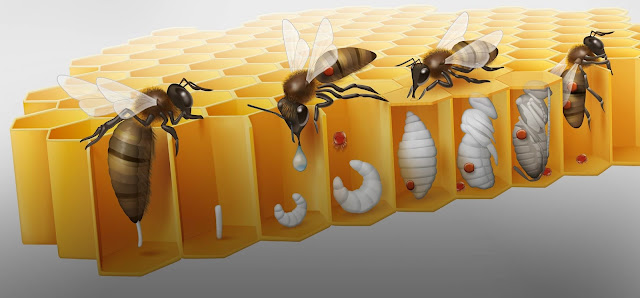 BIO-ANATOMIA DE LA VARROA JACOBSONI - BIO-ANATOMY OF THE VARROA JACOBSONI.