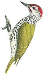 Campethera mombassica