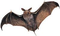 خفاش ..... أرجوكم ...... لا تظلموا الحيوان