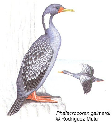 Cormorán gris Phalacrocorax gaimardi