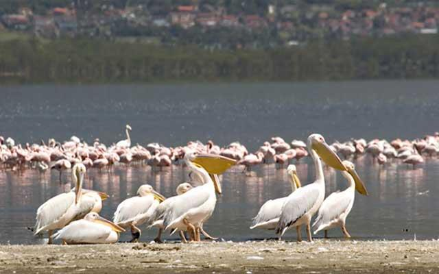 Pelicans at Lake Nakuru Kenya
