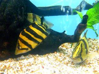 cara-memelihara-tiger-fish.jpg