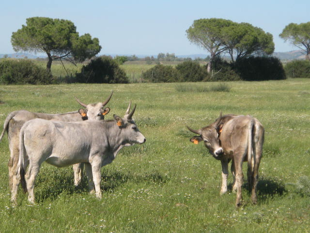 Young cows in Tuscany's Maremma national park
