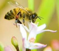 Os telemóveis e as abelhas