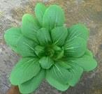 Ayo menanam sayuran Pakchoy di pekarangan rumah