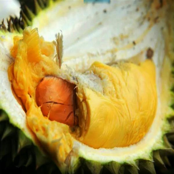 Durian Tembaga, Khasiat Durian Tembaga, Manfaat Durian Tembaga
