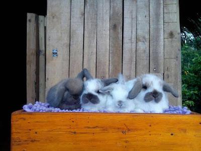 Harga Jual Kelinci HollandLop Pure Breed Borongan siap kirim seluruh Indonesia