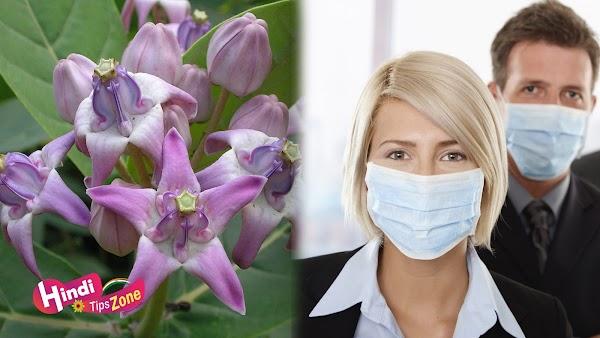 Calotropis Gigantea Flower Benefits For Swine Flu In Hindi