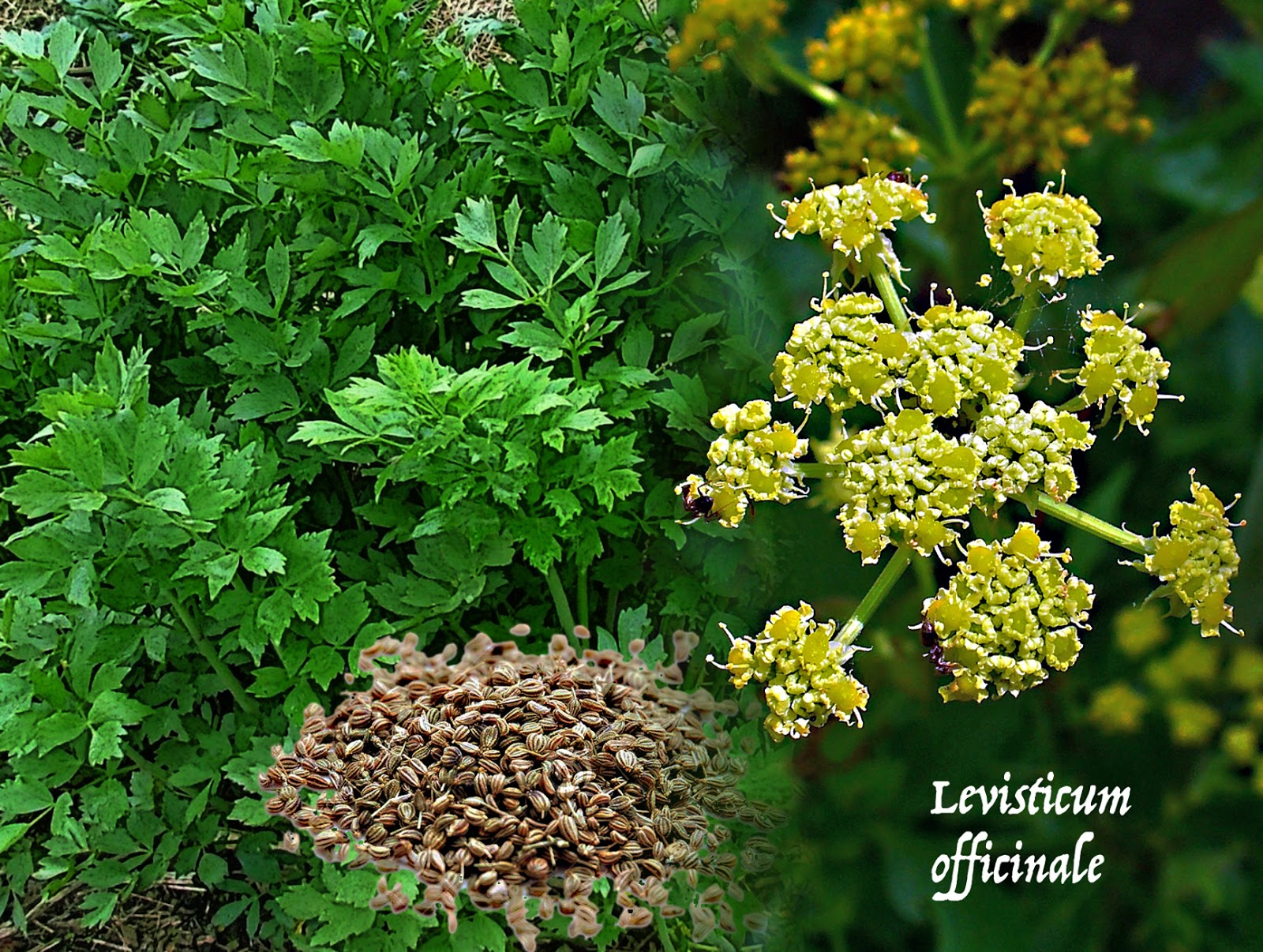 Intelliblog All About Lovage