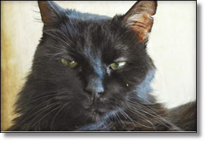 Picture of black cat