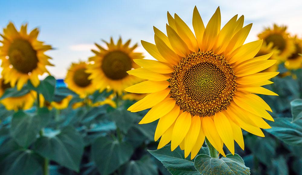 Gambar Bunga Matahari Estetik Gambar Bunga
