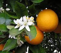 البرتقال مصدر نباتي