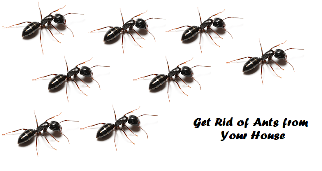 How to get rid of ants naturally from your house