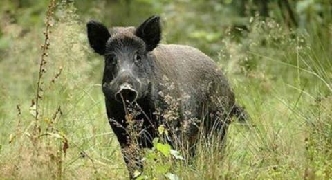 Θεσπρωτία: Eπιθέσεις αγριογούρουνων σε κυνηγούς στη Θεσπρωτία...