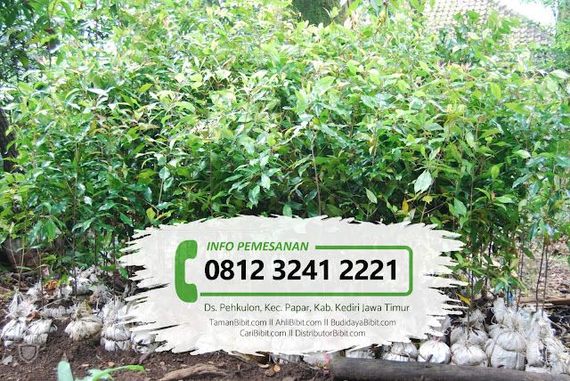 Jual Bibit & Benih Biji Herbal Cengkeh Zanzibar
